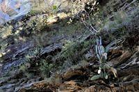 Plants in situ, Carnarvon Gorge